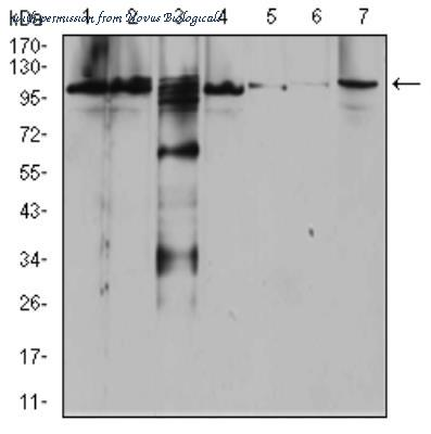 Novus Biologicals NBP2-52546 图像 1
