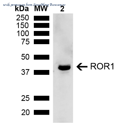 ROR1 Antibody | StressMarq Biosciences SPC-762D product