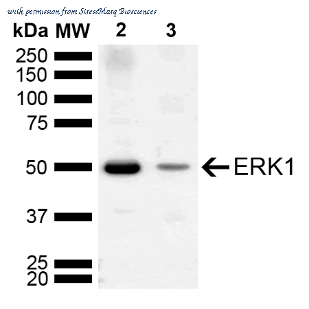 ERK1 Antibody | StressMarq Biosciences SPC-780D product
